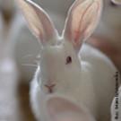 Eifel-Kaninchen