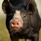 Berkshire Schwein