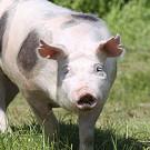 Pietrain Schwein