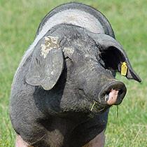Schwäbisch Hällische Landschwein