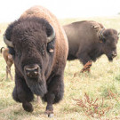 North American Bison Cooperative