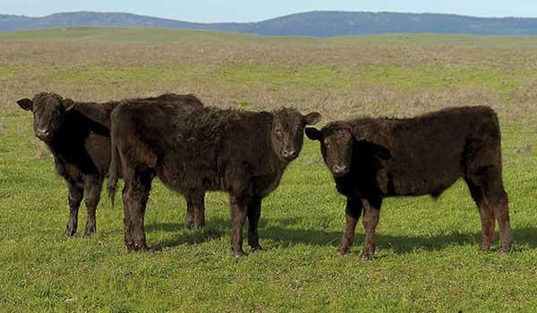 1788 Australian Beef